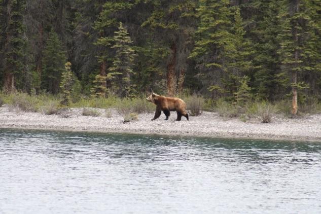 blog toundra voyages - grizzli
